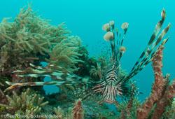BD-090922-Bunaken-9223637-Pterois-volitans-(Linnaeus.-1758)-[Red-lionfish.-Drakfisk].jpg